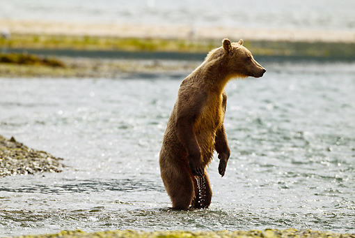 BEA 03 MC0049 01 © Kimball Stock Grizzly Bear Sow Fishing In Geographic Harbor, Katmai National Park, Alaska