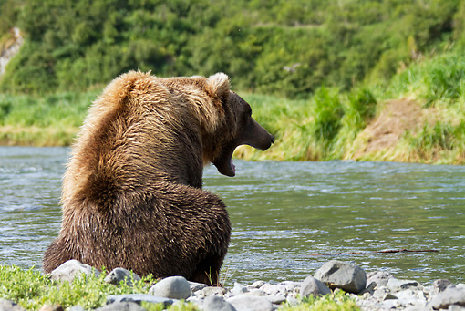 BEA 03 MC0053 01 © Kimball Stock Young Grizzly Bear Female Yawning By Geographic Harbor, Katmai National Park, Alaska