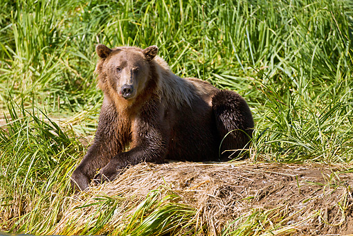 BEA 03 MC0054 01 © Kimball Stock Grizzly Bear Sow Resting By Geographic Harbor, Katmai National Park, Alaska