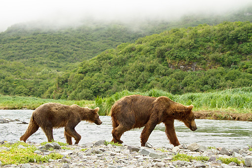 BEA 03 MC0055 01 © Kimball Stock Grizzly Bear Sow And Cub Fishing In Geographic Harbor, Katmai National Park, Alaska