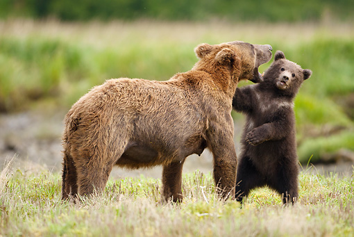 BEA 03 MC0056 01 © Kimball Stock Grizzly Bear Mother With First Year Cub In Katmai National Park, Alaska