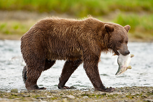 BEA 03 MC0057 01 © Kimball Stock Grizzly Bear With Salmon Walking By Hallo Bay Katmai National Park, Alaska