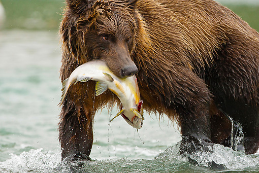 BEA 03 MC0058 01 © Kimball Stock Grizzly Bear With Salmon Walking Along Stream Katmai National Park, Alaska