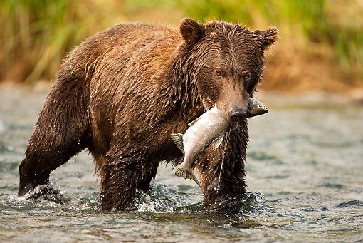 BEA 03 MC0059 01 © Kimball Stock Grizzly Bear With Salmon Walking Along Stream Katmai National Park, Alaska
