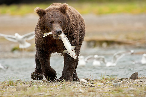 BEA 03 MC0060 01 © Kimball Stock Grizzly Bear With Salmon Walking Along Stream Katmai National Park, Alaska