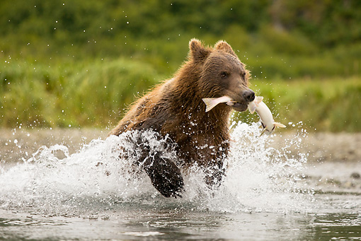 BEA 03 MC0061 01 © Kimball Stock Grizzly Bear Running Out Of Stream With Salmon Katmai National Park, Alaska