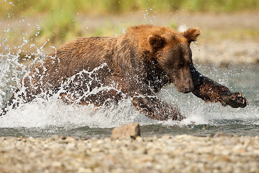 BEA 03 MC0062 01 © Kimball Stock Grizzly Bear Chasing Salmon In Stream Katmai National Park, Alaska