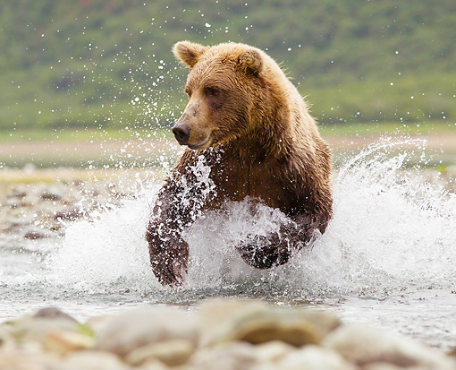 BEA 03 MC0063 01 © Kimball Stock Grizzly Bear Chasing Salmon In Stream Katmai National Park, Alaska