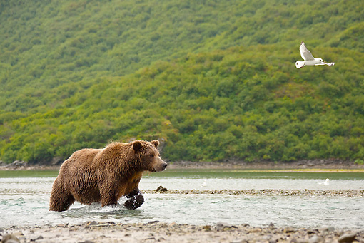 BEA 03 MC0065 01 © Kimball Stock Grizzly Bear Fishing For Salmon In Stream Katmai National Park, Alaska