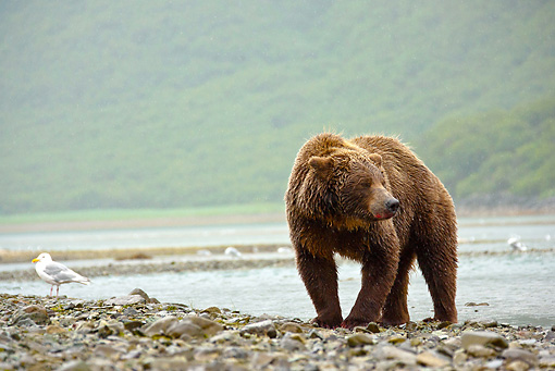 BEA 03 MC0066 01 © Kimball Stock Grizzly Bear Fishing For Salmon Near Stream Katmai National Park, Alaska