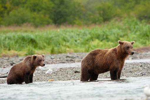 BEA 03 MC0067 01 © Kimball Stock Grizzly Bear Mother And Cub Fishing For Salmon In Stream Katmai National Park, Alaska
