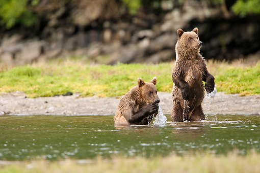 BEA 03 MC0068 01 © Kimball Stock Grizzly Bear Cubs Standing In Stream During Fall Salmon Run Katmai National Park, Alaska