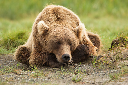BEA 03 MC0069 01 © Kimball Stock Grizzly Bear Resting In Day Bed Katmai National Park, Alaska