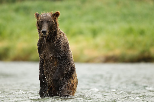 BEA 03 MC0070 01 © Kimball Stock Grizzly Bear Young Male Fishing In River At Katmai National Park, Soutwest Alaska, USA