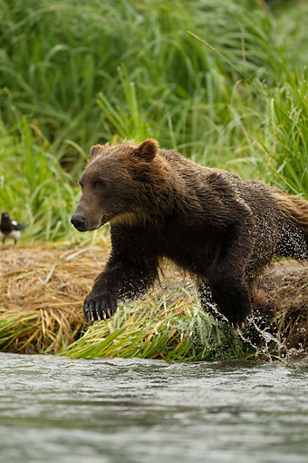 BEA 03 MC0072 01 © Kimball Stock Grizzly Bear Young Male Fishing In River At Katmai National Park, Soutwest Alaska, USA