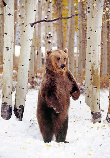 BEA 03 RK0060 11 © Kimball Stock Grizzly Bear Standing Upright On Snow By Trees