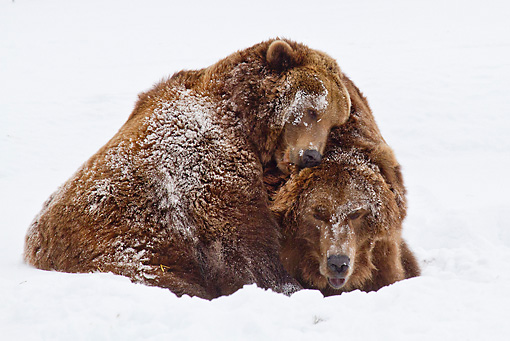 BEA 03 RW0001 01 © Kimball Stock Two Alaskan Coastal Brown Bears Playing In Snow Yellowstone National Park