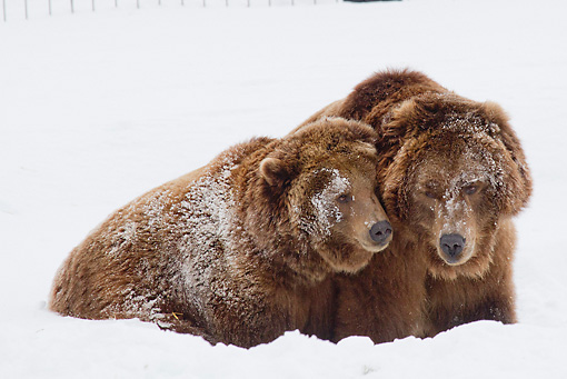 BEA 03 RW0002 01 © Kimball Stock Two Alaskan Coastal Brown Bears Playing In Snow Yellowstone National Park