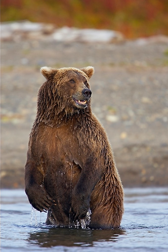 BEA 03 WF0001 01 © Kimball Stock Grizzly Bear Standing In River Looking For Fish