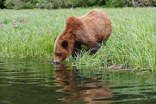 BEA 03 WF0002 01 © Kimball Stock Grizzly Bear Drinking From River