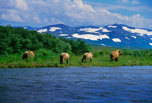 BEA 03 DB0001 01 © Kimball Stock Female Grizzly Bear With Cubs Along River Alaska