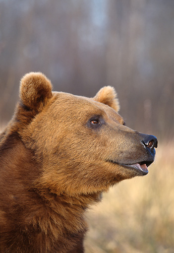 BEA 03 DB0003 01 © Kimball Stock Profile Head Shot Of Grizzly Bear
