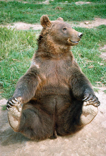 BEA 03 GR0001 01 © Kimball Stock Grizzly Bear Sitting On Dirt By Grass Grabbing Feet