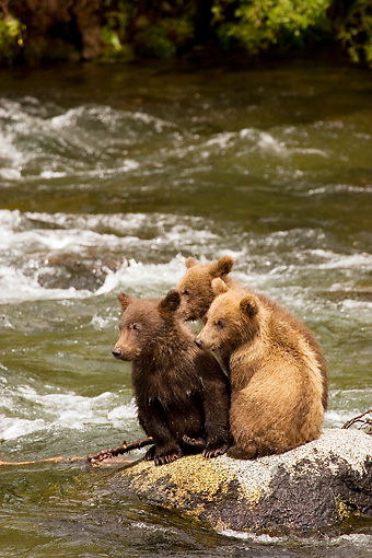 BEA 03 JM0001 01 © Kimball Stock Grizzly Bear Cubs Sitting On Rock In River