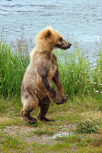 BEA 03 JM0003 01 © Kimball Stock Profile Of Grizzly Bear Cub Walking On Shore