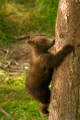 BEA 03 JM0006 01 © Kimball Stock Grizzly Bear Cub Climbing Tree