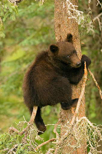 BEA 03 JM0007 01 © Kimball Stock Grizzly Bear Cub Climbing Tree