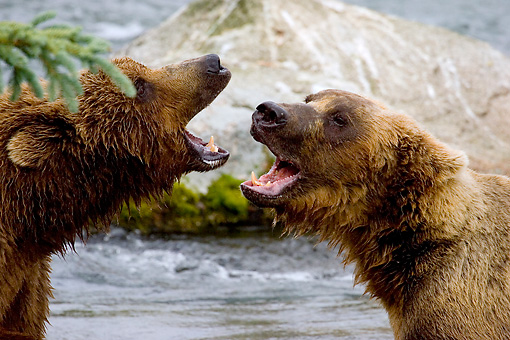 BEA 03 JM0009 01 © Kimball Stock Head Shot Of Two Grizzly Bears Vocalizing By River