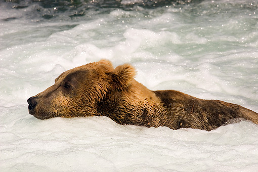 BEA 03 JM0010 01 © Kimball Stock Profile Of Grizzly Bear Swimming In River