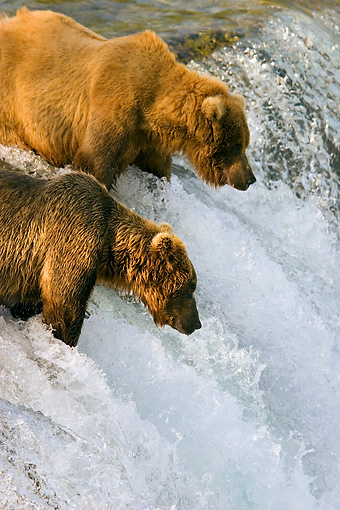 BEA 03 JM0011 01 © Kimball Stock Two Grizzly Bears Fishing At Rapids