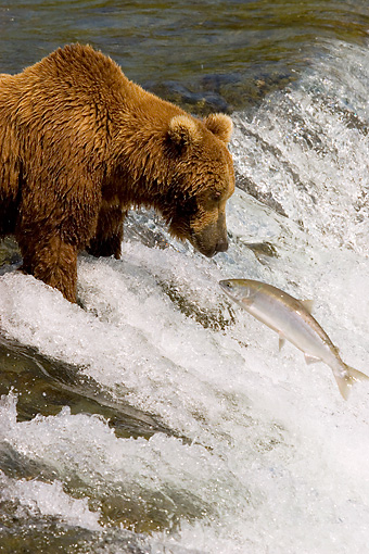 BEA 03 JM0012 01 © Kimball Stock Grizzly Bear Fishing At Rapids