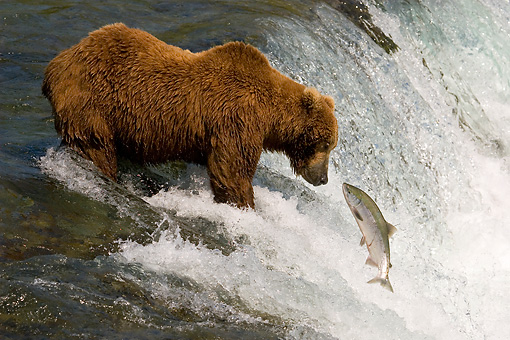 BEA 03 JM0014 01 © Kimball Stock Grizzly Bear Fishing At Rapids