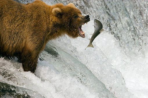 BEA 03 JM0015 01 © Kimball Stock Grizzly Bear Fishing At Rapids