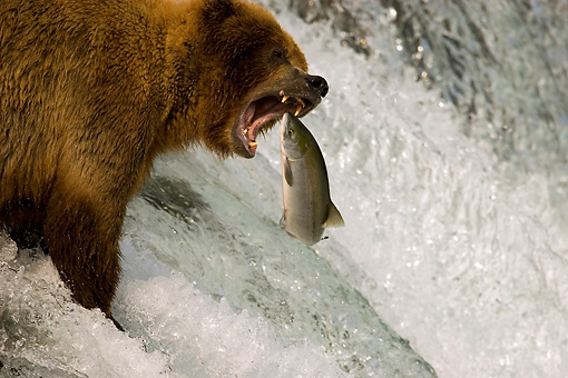 BEA 03 JM0016 01 © Kimball Stock Grizzly Bear Fishing At Rapids