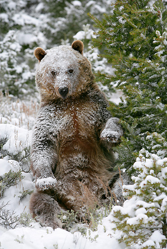 BEA 03 KH0003 01 © Kimball Stock Grizzly Bear Sitting In Snowy Forest