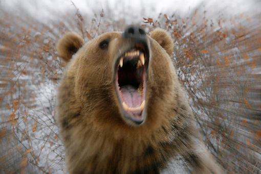 BEA 03 KH0005 01 © Kimball Stock Head Shot Of Grizzly Bear In Snowy Forest Roaring