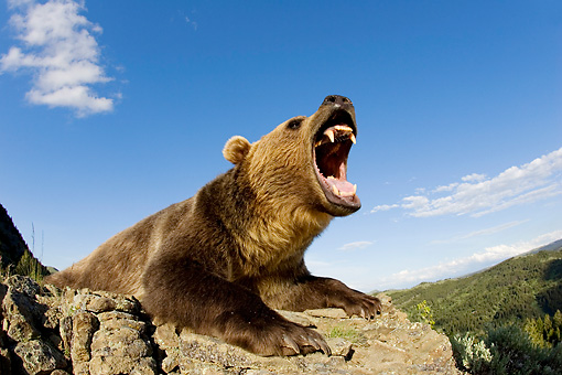BEA 03 KH0006 01 © Kimball Stock Grizzly Bear Laying On Rocks Roaring