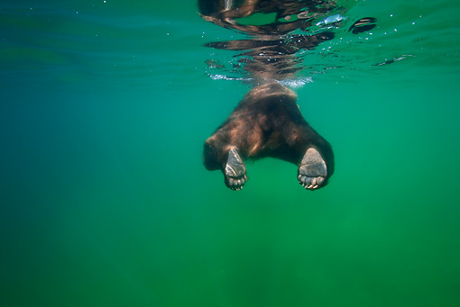 BEA 03 KH0011 01 © Kimball Stock Grizzly Bear Swimming In Lake Rear View