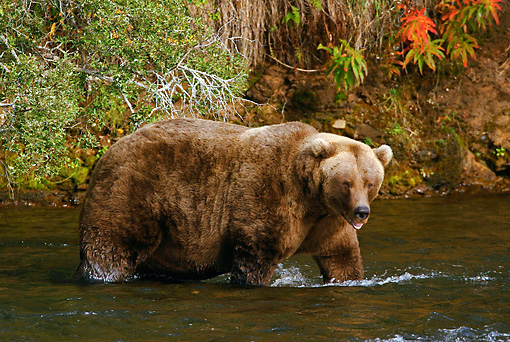 BEA 03 KH0012 01 © Kimball Stock Grizzly Bear Wading In Water