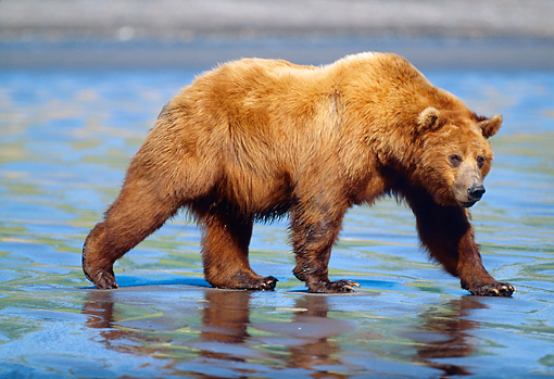 BEA 03 LS0001 01 © Kimball Stock Grizzly Bear Walking Along Tidal Flat At Low Tide Alaska