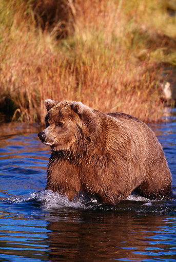 BEA 03 RF0037 01 © Kimball Stock Grizzly Bear Walking In Water