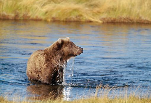 BEA 03 RF0038 01 © Kimball Stock Grizzly Bear Standing In Marsh Alaska