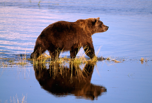 BEA 03 RF0039 01 © Kimball Stock Grizzly Bear Walking In Marsh Alaska