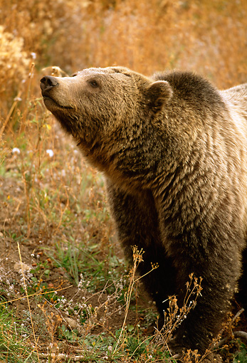 BEA 03 RF0041 01 © Kimball Stock Grizzly Bear Standing In Meadow Yellowstone National Park