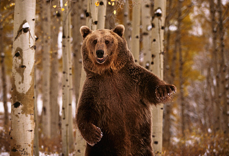 BEA 03 RK0024 01 © Kimball Stock Grizzly Bear Standing Upfright Trees Background