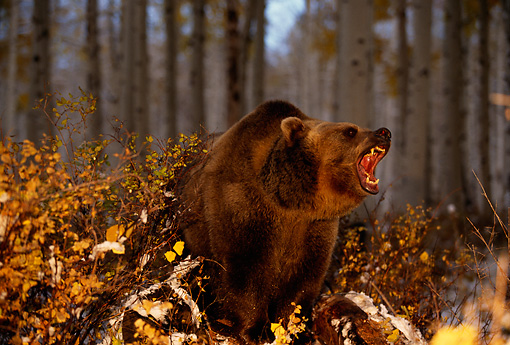 BEA 03 RK0039 04 © Kimball Stock Grizzly Bear Roaring